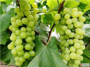 葡萄熟了之三