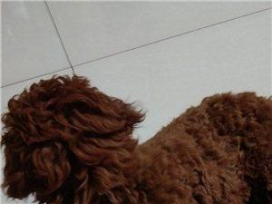 三個月公泰迪犬