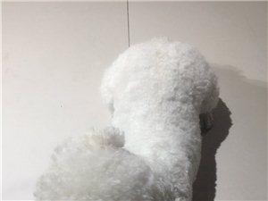 白色比熊犬被抱走,重金酬�x
