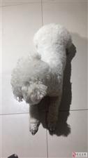 白色比熊犬被抱走,重金酬谢