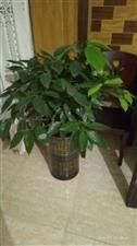 出售大叶平安树60元。