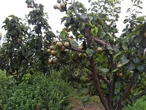 校园内的梨子