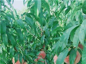 南阳镇的生态采摘园林的桃子熟了欢迎前来采摘