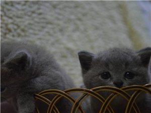 自己家里母猫生的蓝猫