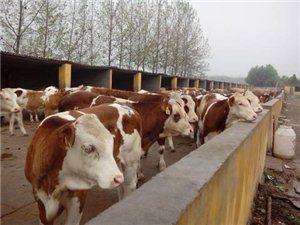 招聘养牛工人