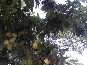 雨后的桃儿