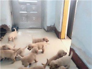 金毛幼犬一窩