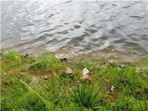 温凉河河边出现死鱼