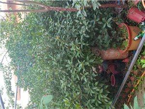 桂花及盆景出售