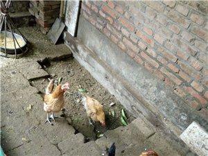 出售家养下蛋母鸡,第一年下蛋,价格面议,地点在月河路。