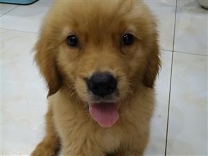 出售高品质金毛幼犬
