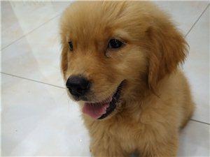 高品质金毛幼犬