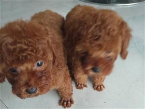 一只爆红小泰迪,可以上门看狗,想买的联系15105008380