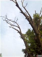 千年古树发嫩枝,怀抱百子佑后人!