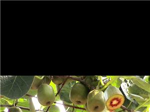 自己家的正宗红心猕猴桃熟了