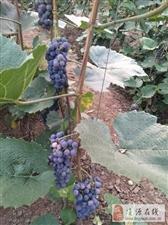 低价出售山葡萄,数量不限价格面议联系电话:15084205019