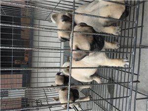 出售八哥幼犬