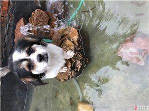 寻狗启事:养了两年的狗狗(小黄和小黑),如有心人看见,麻烦告知一下,可酬谢!