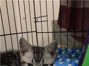 精品貓社兩個月大品質美短低價出售