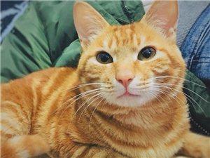 一岁橘猫,免费领养
