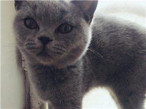 美国蓝猫,有喜欢养猫多可以联系我