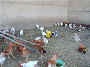 出售兔子,土鸡,土鸡蛋