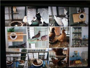 出售各种宠物鸽,鸡等