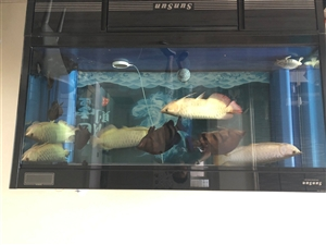 转让红龙2条,金龙3条,印尼虎5条,猪鼻龟一只,全部在55以上,打包35000带鱼缸,自取,单只,出...