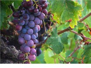 立秋后吃葡萄好处多,别怪我没提醒你们哟!