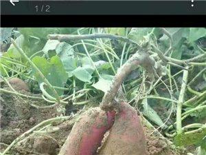 卖地瓜,一块钱能买撒