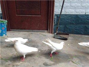 种鸽乳鸽出售
