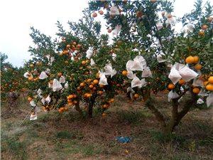 水果采摘进行时
