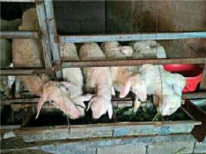 出售纯天然野生羊肉