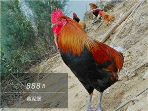 正安?#30331;?#24180;玩鸡,却被笑成?#37117;?#22836;》