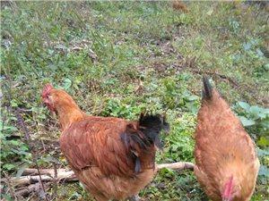 散养鸡出售,本信息长期可靠