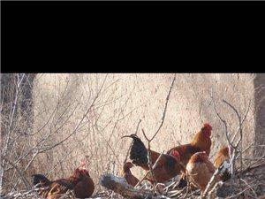 卖溜达鸡 健康绿色食品