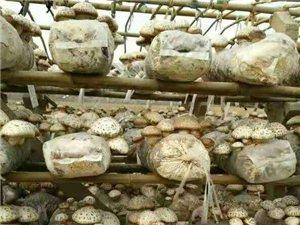 香菇:干菇、鲜菇
