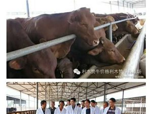 出售肉牛犊育肥牛