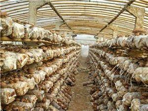 大量出售香菇