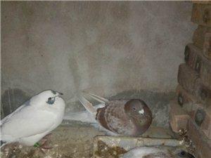 卖鸽子个人。