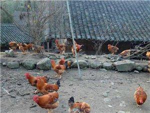 吃散養雞了咯