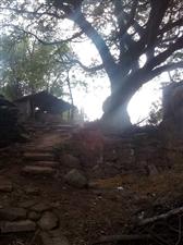 徒步爬山看到古树老屋了