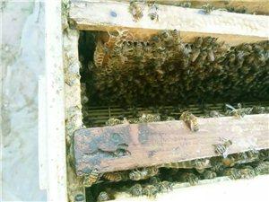 蜂蜜出售,假一賠十