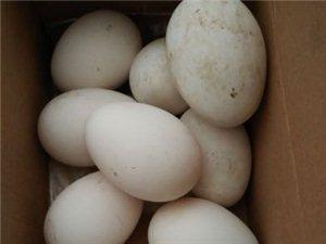 出售散养鸡蛋鹅蛋