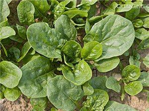自家種植無公害圓葉菠菜 量大從優