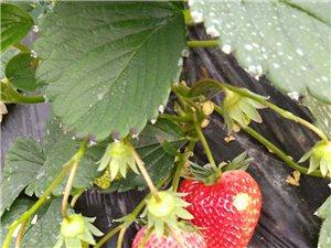 草莓可以送至家门口