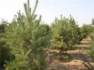 出售1.5米高的樟子松樹苗