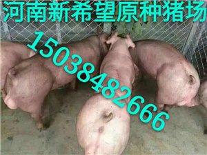 二元母猪价格