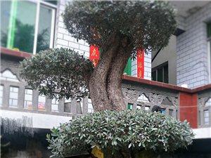 【武都】50年树龄的橄榄盆景