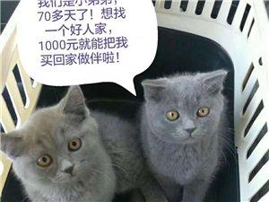 蓝猫公子两只